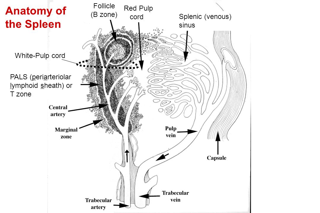 Anatomy of the Spleen Follicle Red Pulp (B zone) cord Splenic (venous)