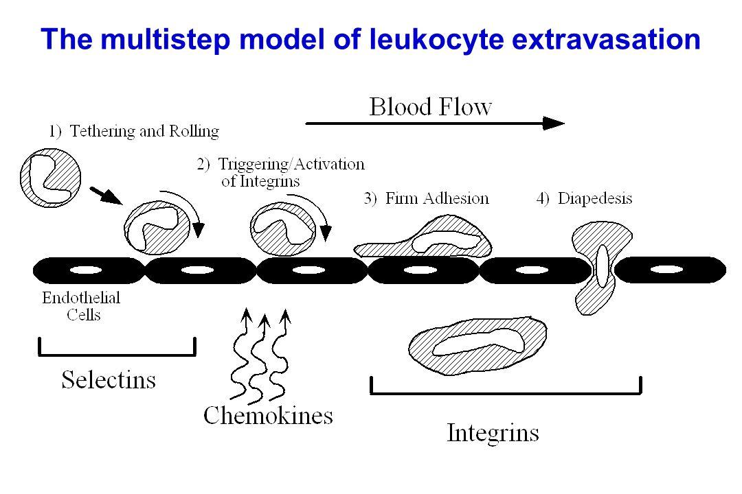 The multistep model of leukocyte extravasation