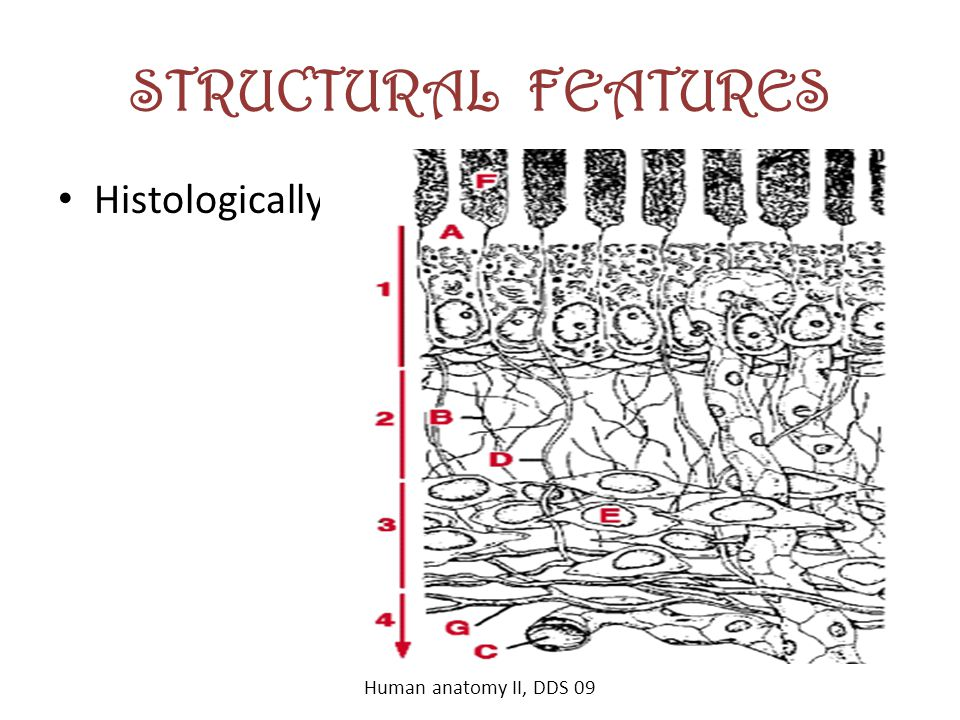 STRUCTURAL FEATURES Histologically, Human anatomy II, DDS 09