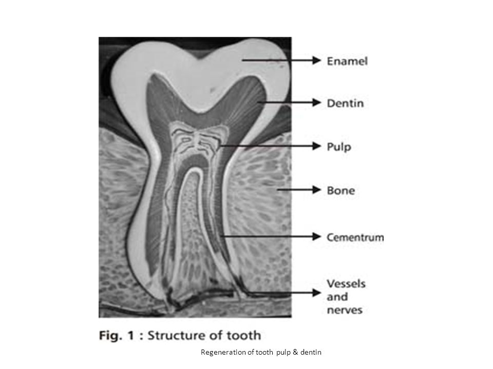 Regeneration of tooth pulp & dentin