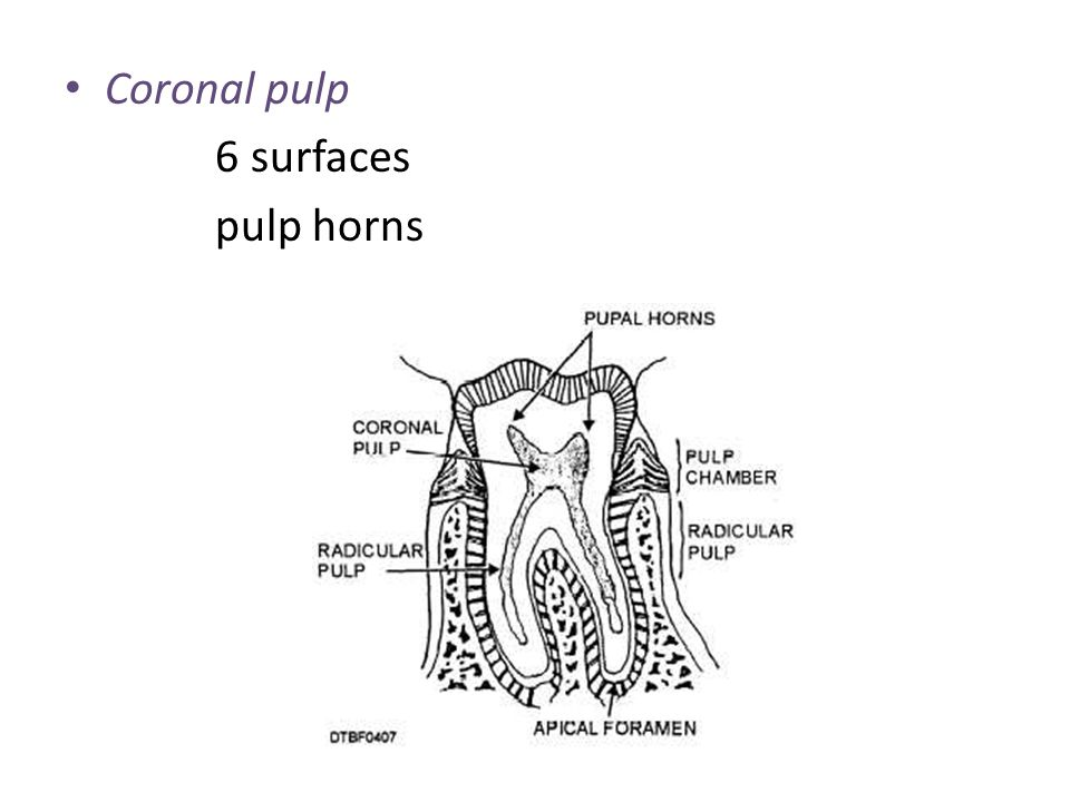 Coronal pulp 6 surfaces pulp horns