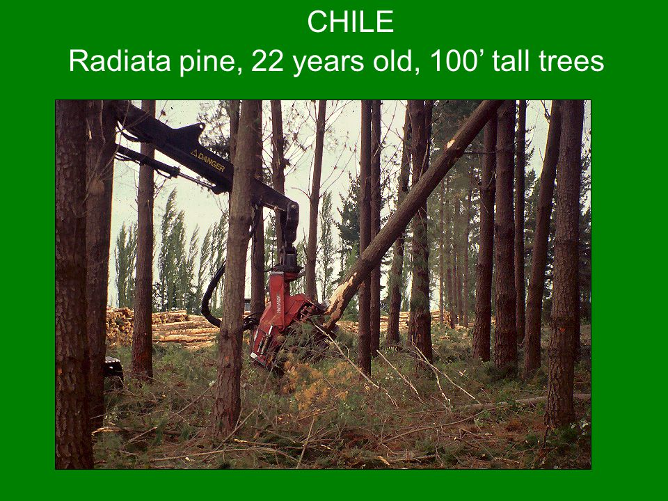 Radiata pine, 22 years old, 100' tall trees
