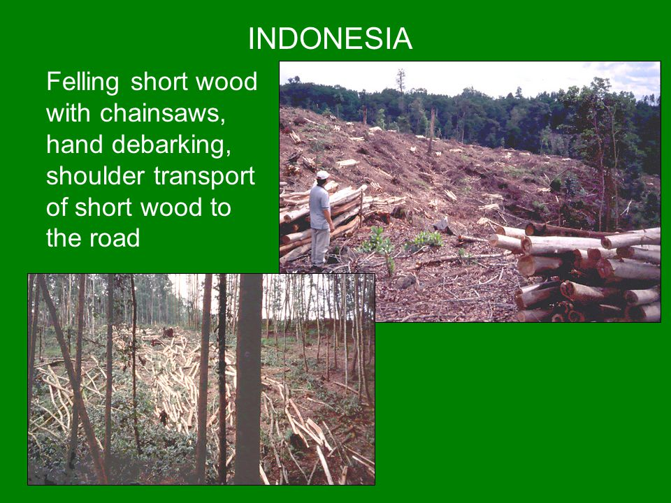 INDONESIA Felling short wood with chainsaws, hand debarking, shoulder transport of short wood to the road.