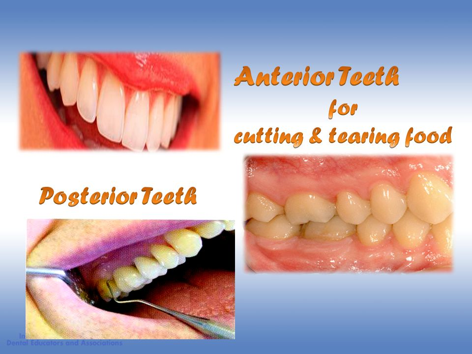 Anterior Teeth for cutting & tearing food Posterior Teeth