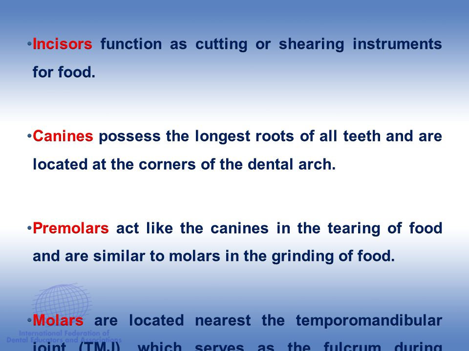Incisors function as cutting or shearing instruments for food.