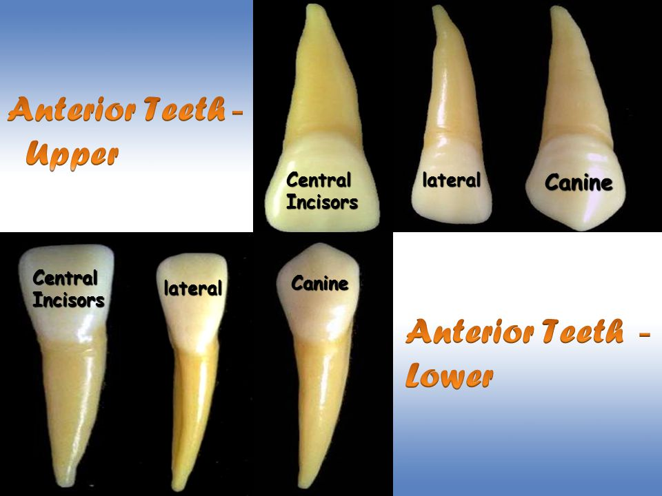 Anterior Teeth- Upper Anterior Teeth- Lower Canine Central Incisors