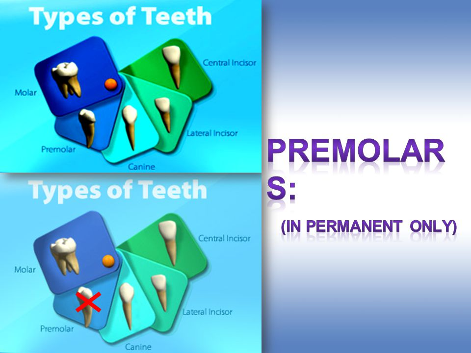 Premolars: (in permanent only)