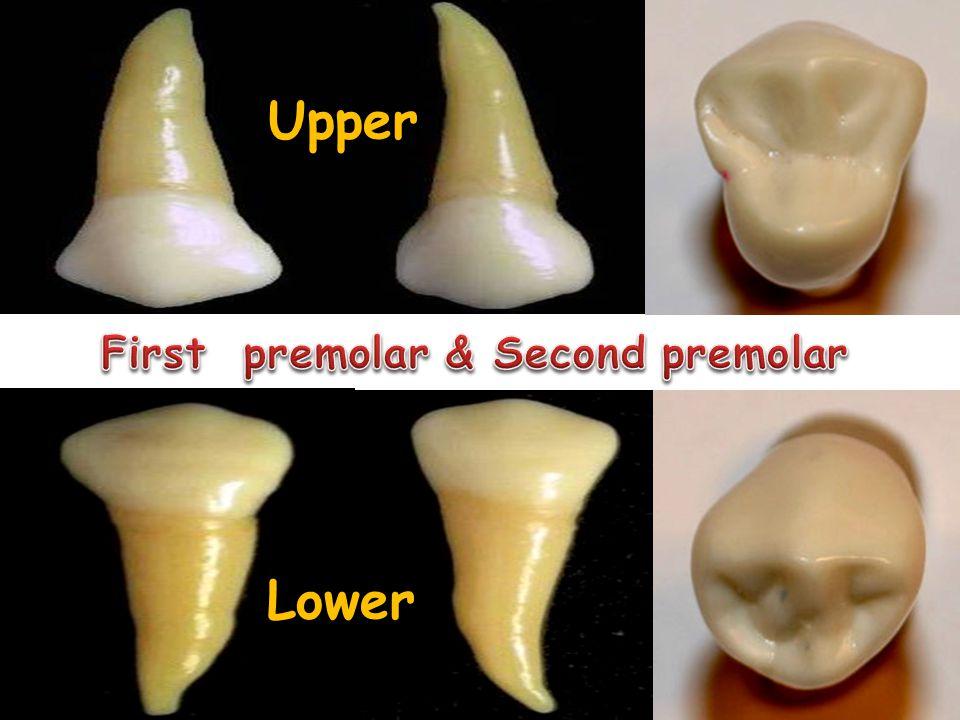 First premolar & Second premolar