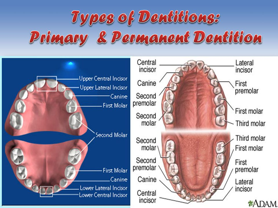 Types of Dentitions: Primary & Permanent Dentition