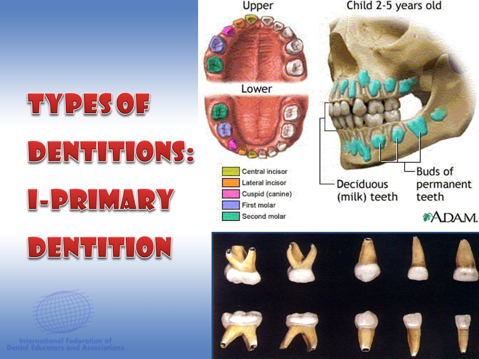 Types of Dentitions: I-Primary Dentition