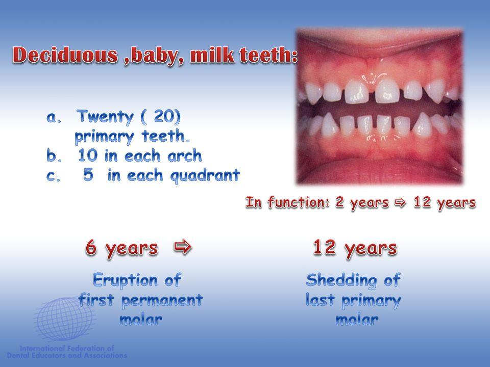 Deciduous ,baby, milk teeth: