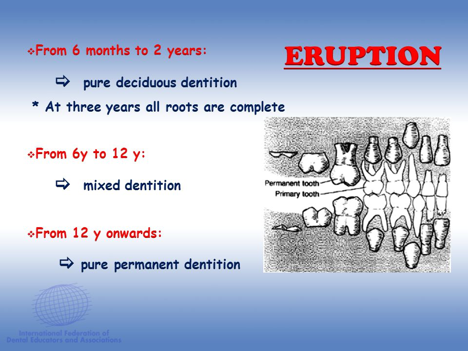 ERUPTION  pure permanent dentition From 6 months to 2 years: