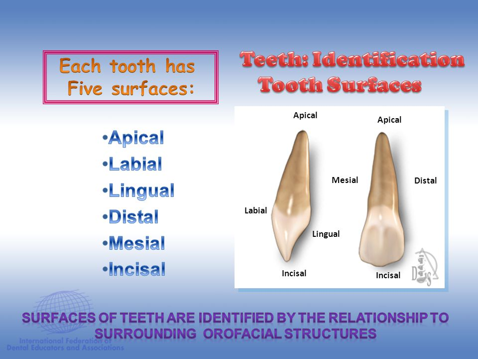 Teeth: Identification Tooth Surfaces