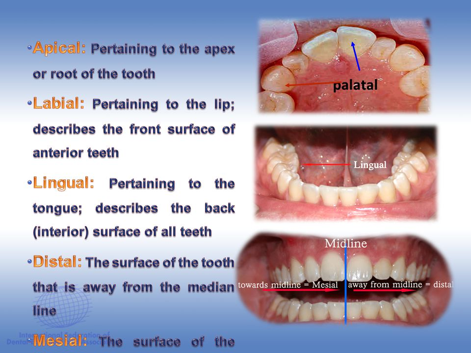 palatal Apical: Pertaining to the apex or root of the tooth. Labial: Pertaining to the lip; describes the front surface of anterior teeth.
