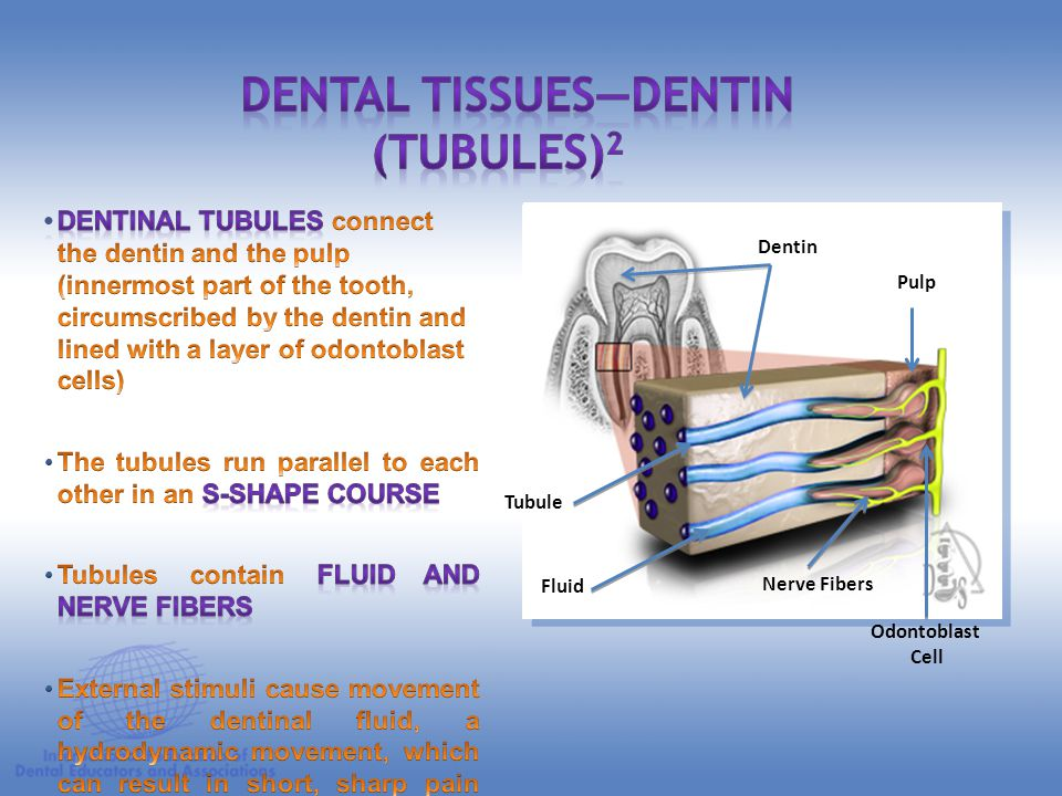 Dental Tissues—Dentin (Tubules)2