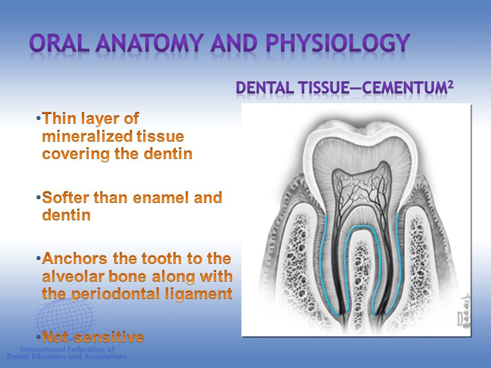 Oral Anatomy and Physiology