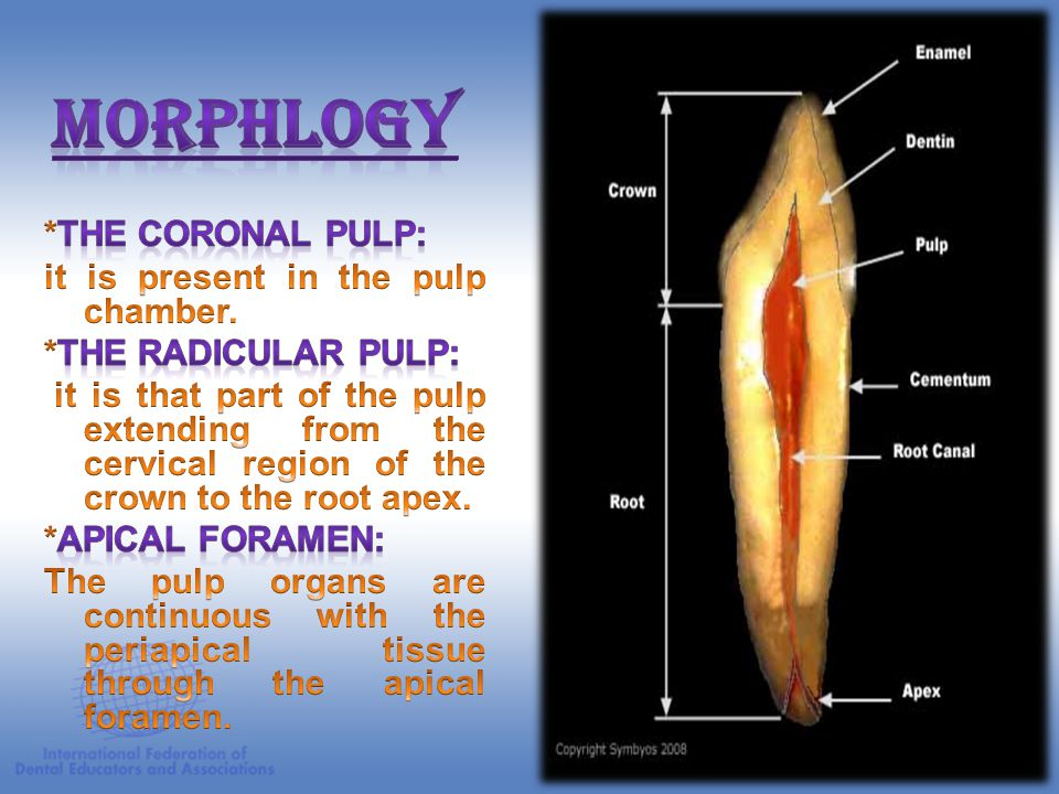 Morphlogy *The coronal pulp: it is present in the pulp chamber.