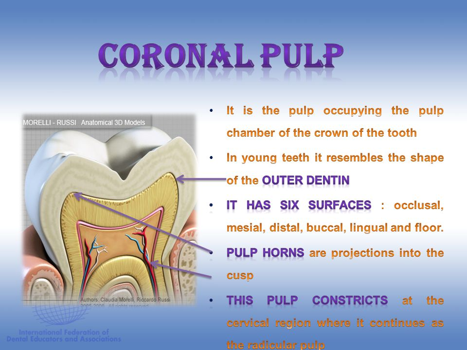 CORONAL PULP It is the pulp occupying the pulp chamber of the crown of the tooth. In young teeth it resembles the shape of the outer dentin.