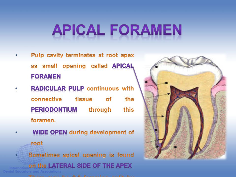 APICAL FORAMEN Pulp cavity terminates at root apex as small opening called apical foramen.