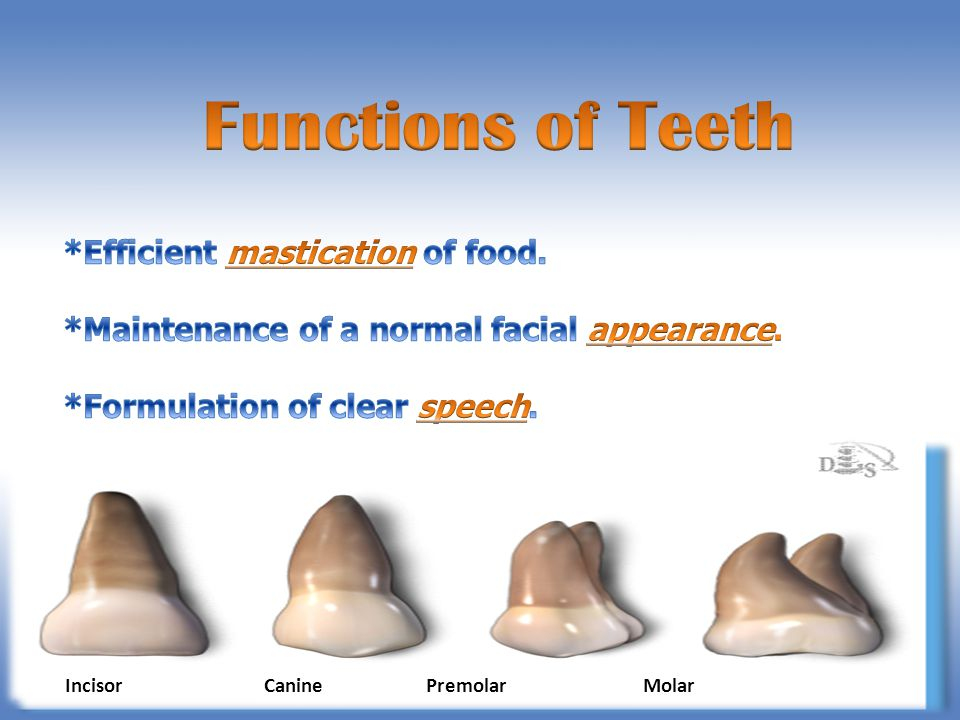 Functions of Teeth *Efficient mastication of food.