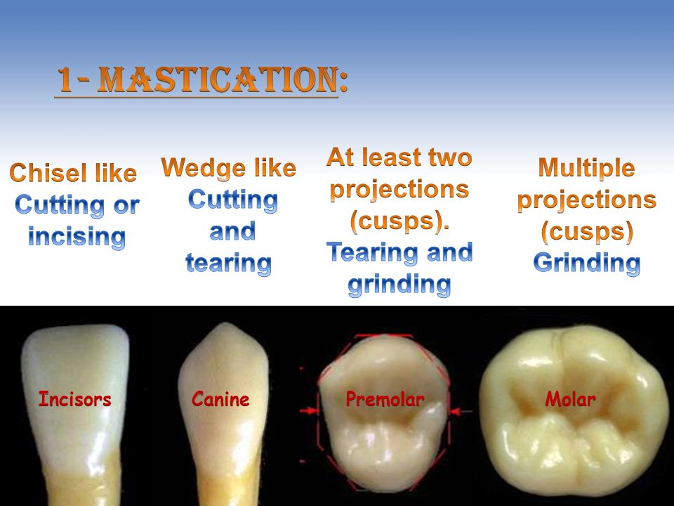 1- Mastication: At least two projections (cusps). Tearing and grinding