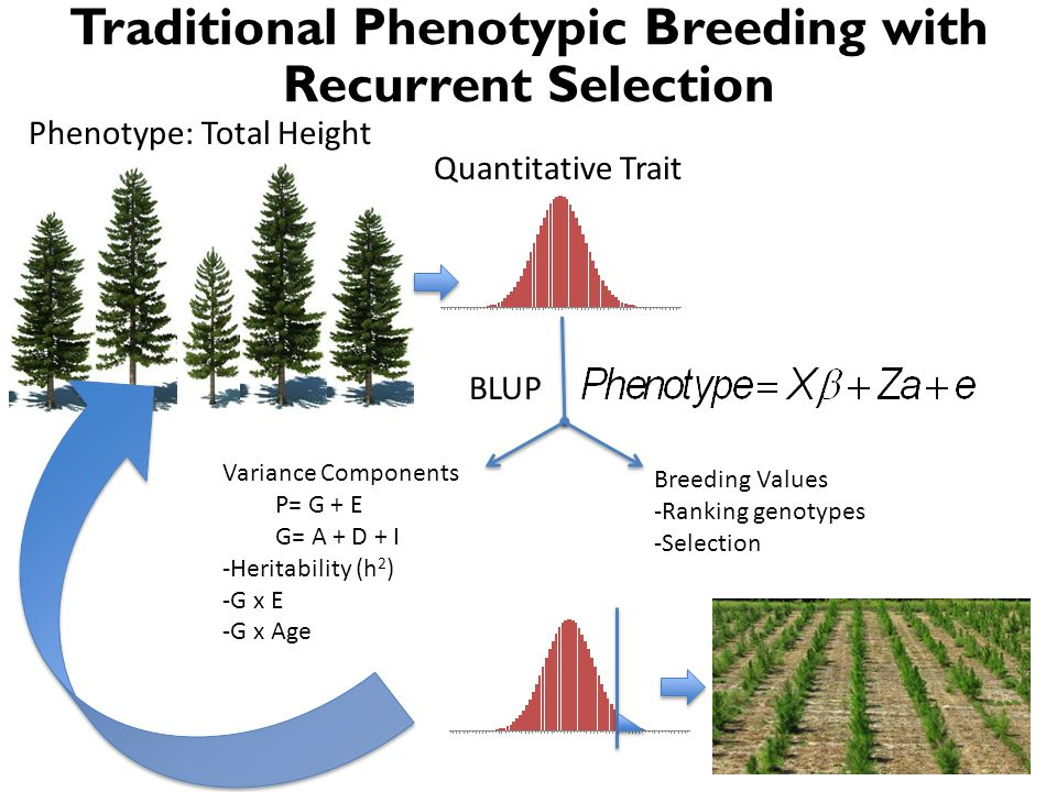 Traditional Phenotypic Breeding with Recurrent Selection