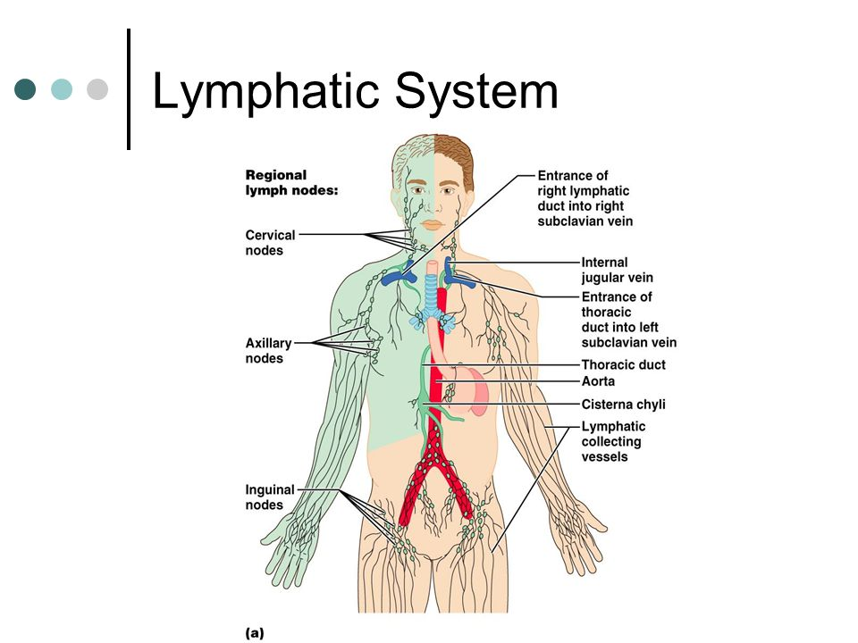 The Lymphatic System and Immune Response - ppt video online download