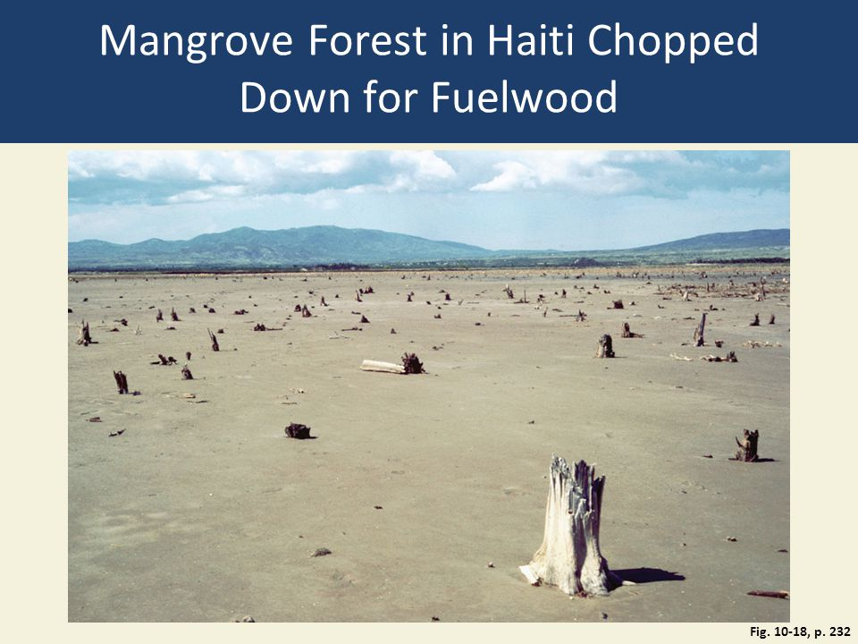 Mangrove Forest in Haiti Chopped Down for Fuelwood