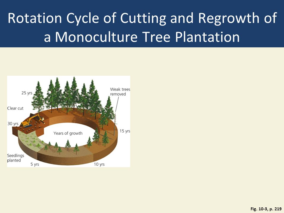 Rotation Cycle of Cutting and Regrowth of a Monoculture Tree Plantation