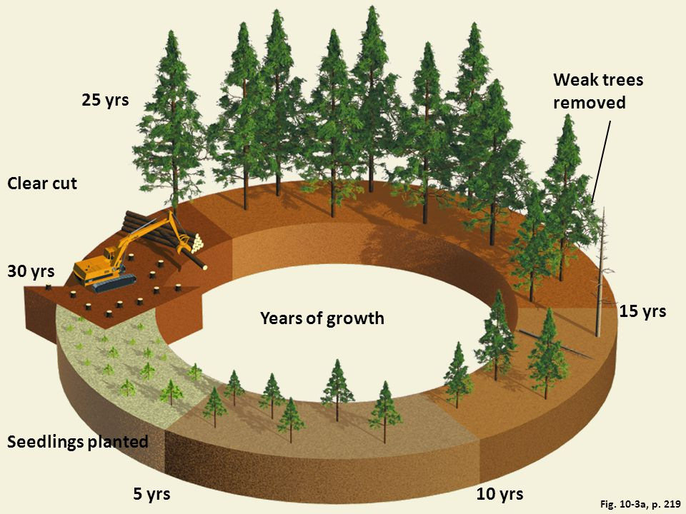 Weak trees removed 25 yrs Clear cut 30 yrs 15 yrs Years of growth