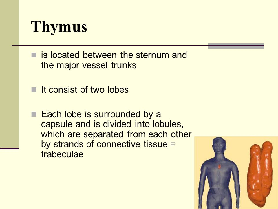Thymus is located between the sternum and the major vessel trunks