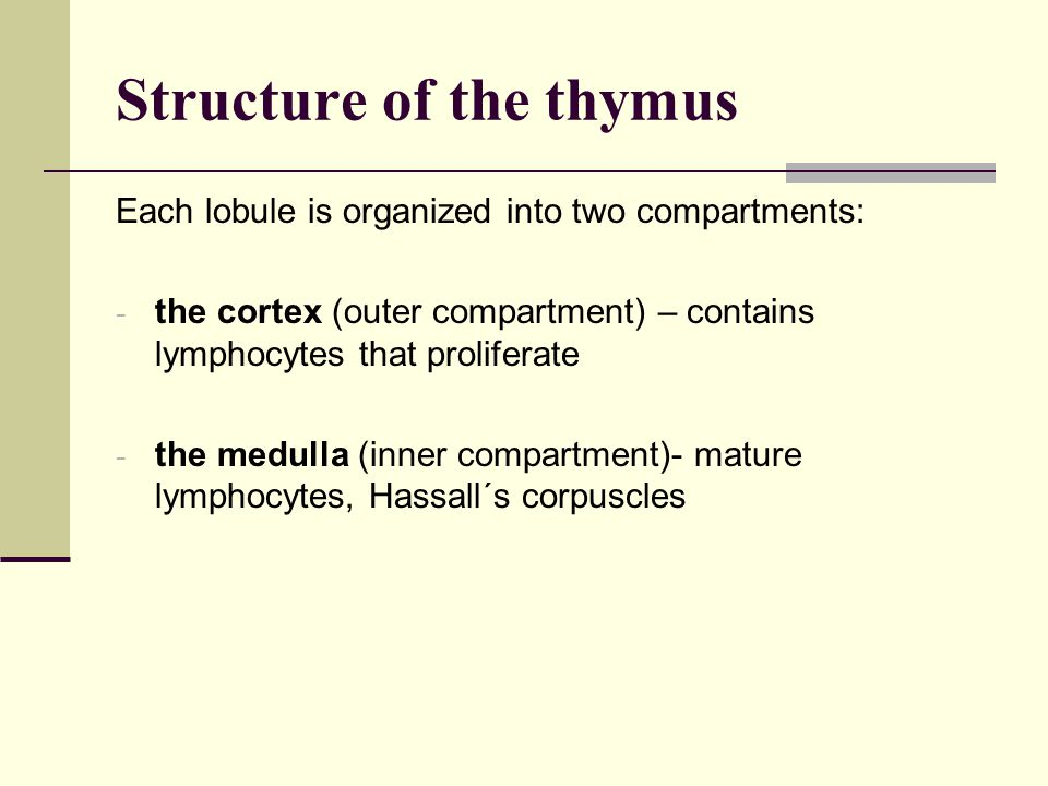 Structure of the thymus