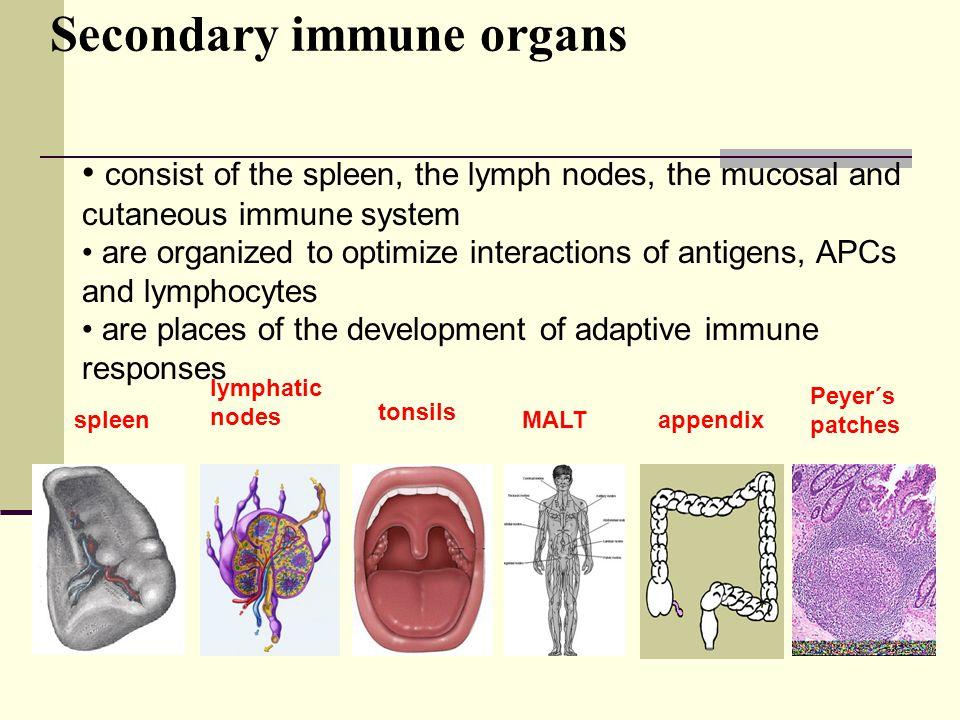 Secondary immune organs
