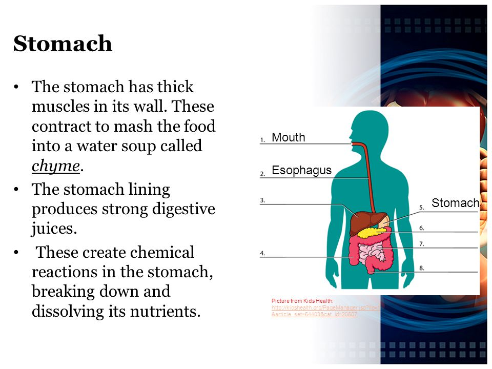 Stomach The stomach has thick muscles in its wall. These contract to mash the food into a water soup called chyme.