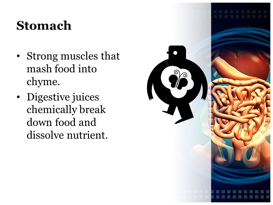 Stomach Strong muscles that mash food into chyme.
