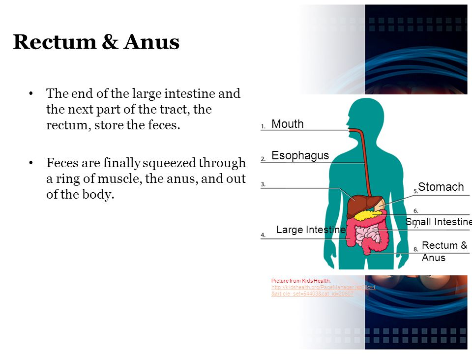 Rectum & Anus The end of the large intestine and the next part of the tract, the rectum, store the feces.