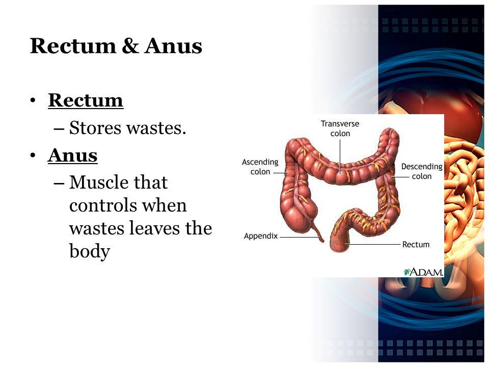 Rectum & Anus Rectum Stores wastes. Anus