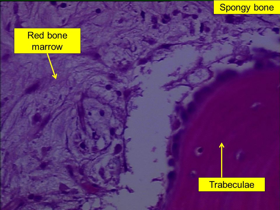 Spongy bone Red bone marrow Trabeculae