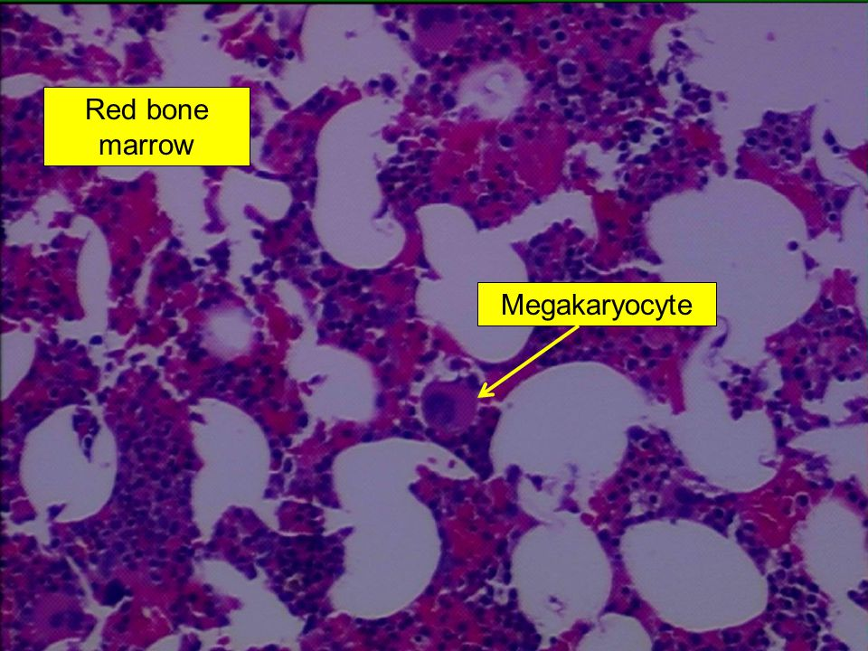 Red bone marrow Megakaryocyte