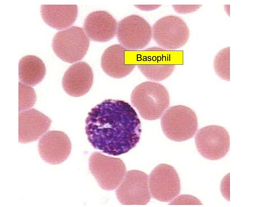 Basophil