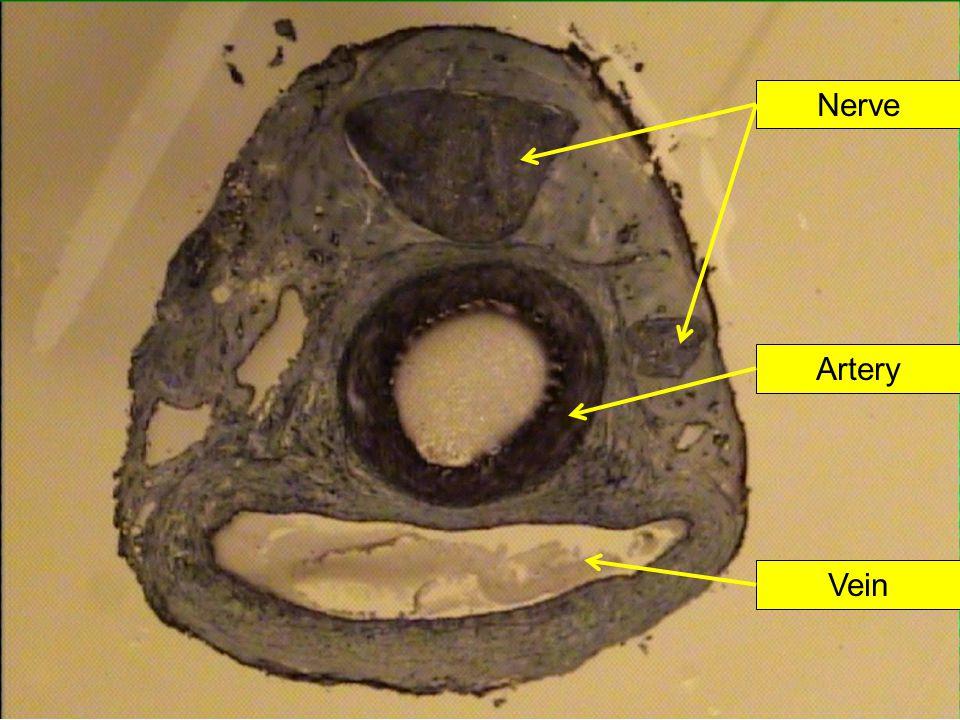 Nerve Artery Vein