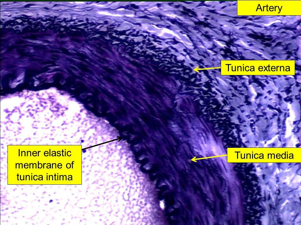 Inner elastic membrane of tunica intima