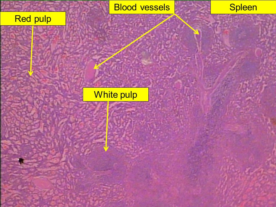 Blood vessels Spleen Red pulp White pulp