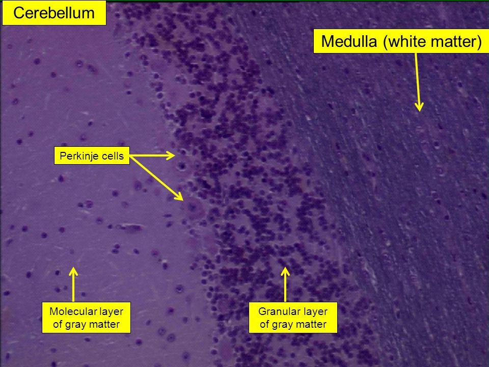 Medulla (white matter)