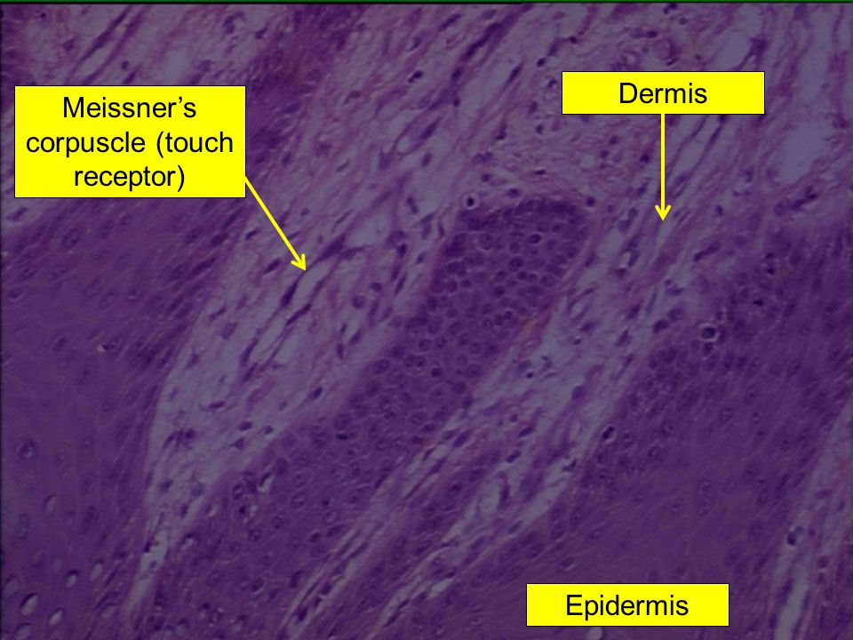 Meissner's corpuscle (touch receptor)