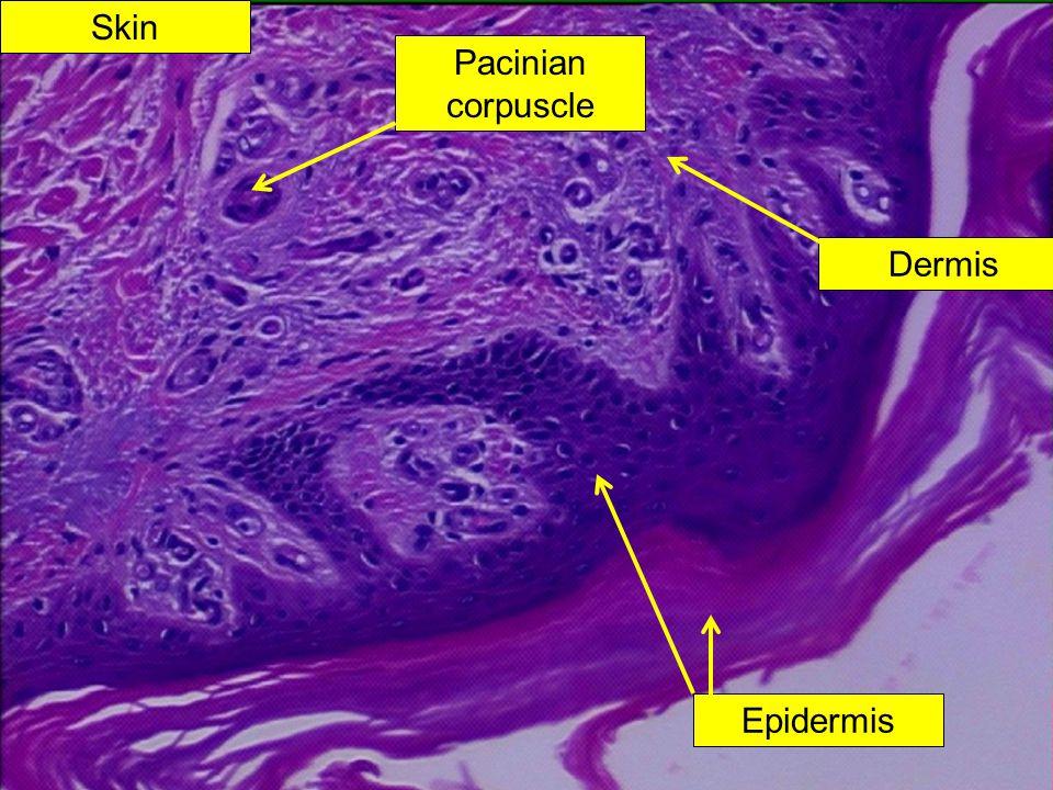 Skin Pacinian corpuscle Dermis Epidermis