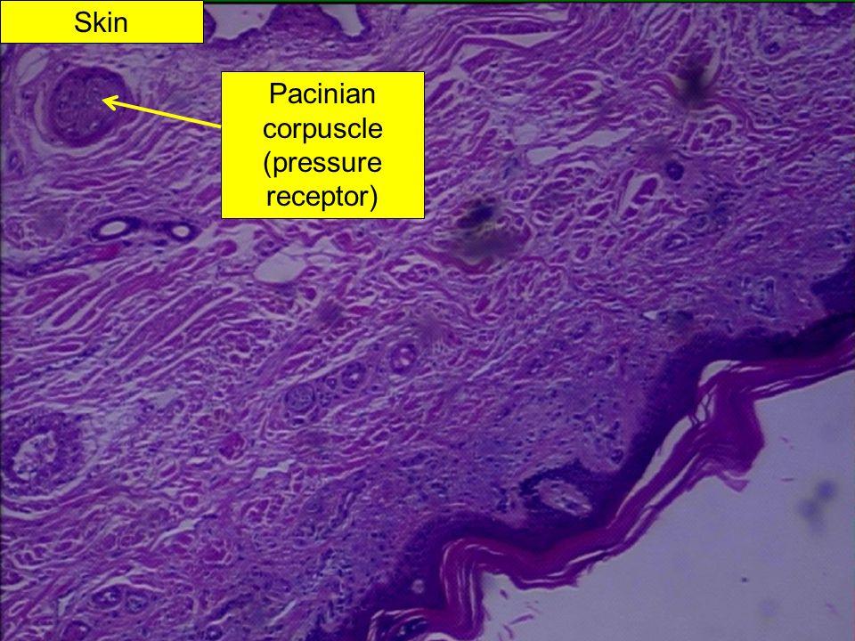 Pacinian corpuscle (pressure receptor)