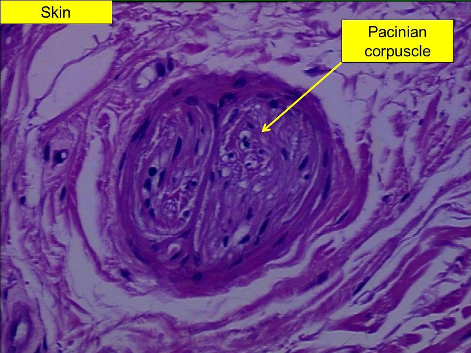 Skin Pacinian corpuscle