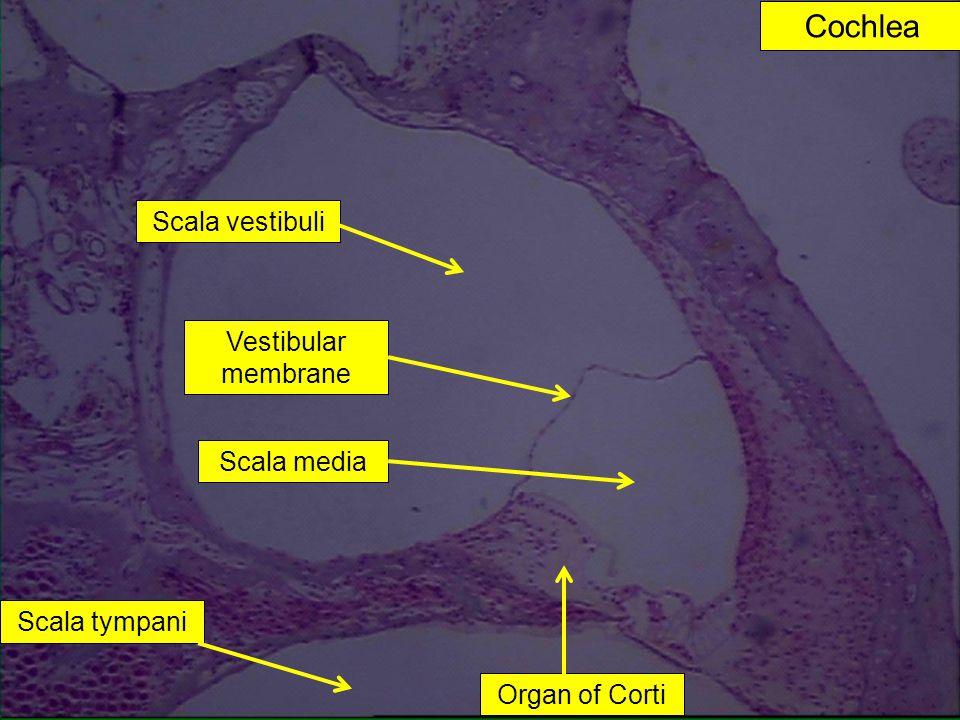Cochlea Scala vestibuli Vestibular membrane Scala media Scala tympani