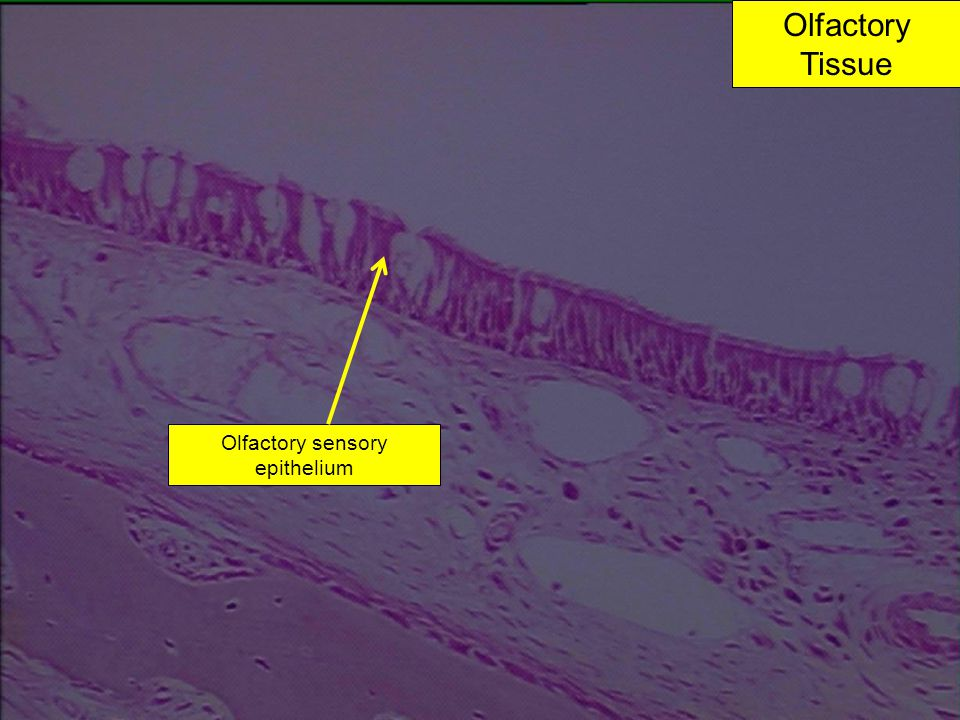 Olfactory sensory epithelium